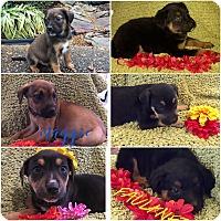Adopt A Pet :: THE SUPER SEVEN - Fishkill, NY