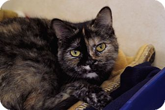 Domestic Shorthair Cat for adoption in Chicago, Illinois - Ragu