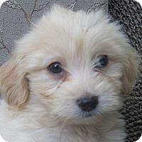 Adopt A Pet :: Comet - La Costa, CA