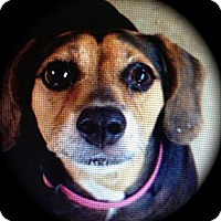 Adopt A Pet :: Betty - calimesa, CA