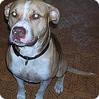 Adopt A Pet :: Dexter - Conway, AR