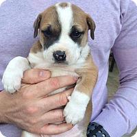 Adopt A Pet :: Loki - Charlestown, RI