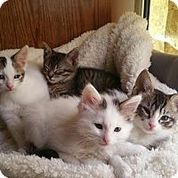 Adopt A Pet :: Anakin, Finn, Luke and Poe - Mission Viejo, CA