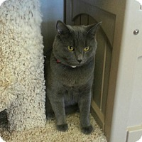 Adopt A Pet :: Greycie - Chesapeake, VA