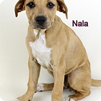 Adopt A Pet :: Nala - Bloomington, MN