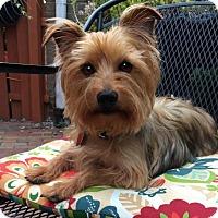 Adopt A Pet :: Graysee - Sinking Spring, PA
