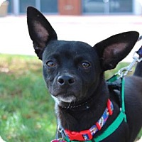 Chihuahua/Dachshund Mix Dog for adoption in Wylie, Texas - Bat Dog