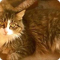 Maine Coon Cat for adoption in Los Angeles, California - Gemma