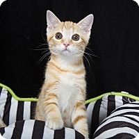 Adopt A Pet :: Crackel - Nashville, TN
