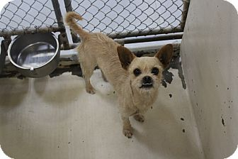 Chihuahua Mix Dog for adoption in Odessa, Texas - A23 Adam