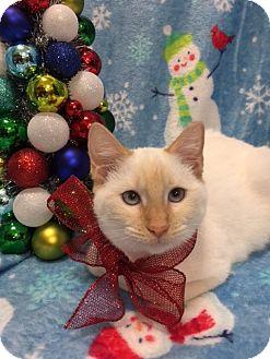 Siamese Cat for adoption in Pasadena, Texas - Suki