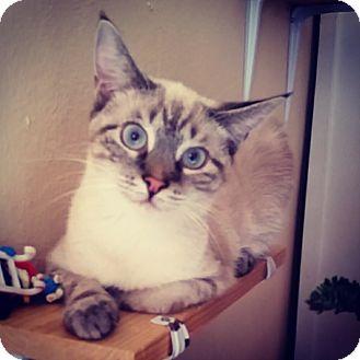 Siamese Kitten for adoption in Virginia Beach, Virginia - Wilma