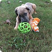 Adopt A Pet :: Quinn**Med Hold** - Virginia Beach, VA