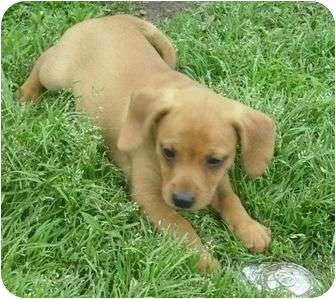 Hound (Unknown Type) Mix Puppy for adoption in Glenpool, Oklahoma - Digger