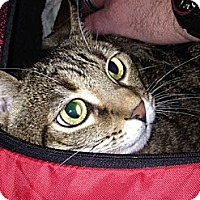 Adopt A Pet :: Tiger Lily - Laguna Woods, CA