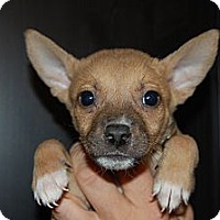 Adopt A Pet :: Fudgie - Coral Springs, FL