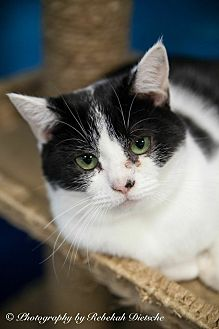 Domestic Shorthair Cat for adoption in Byron Center, Michigan - Jessie