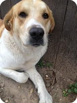 Retriever (Unknown Type)/St. Bernard Mix Dog for adoption in Quinlan, Texas - Pete