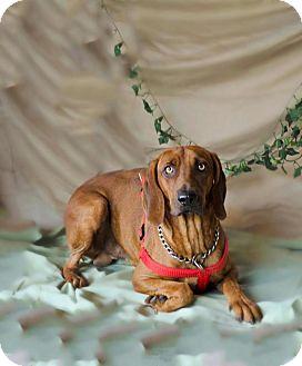 Hound (Unknown Type)/Redbone Coonhound Mix Dog for adoption in Boston, Massachusetts - Bones