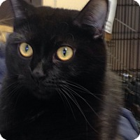 Domestic Shorthair Cat for adoption in Renfrew, Pennsylvania - Yuffie