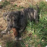 Adopt A Pet :: Max Detweiler Von Trapp - Columbia, MD