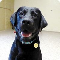 Adopt A Pet :: Gauge - Buckeystown, MD