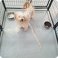 Adopt A Pet :: Fluffy - Las Vegas, NV