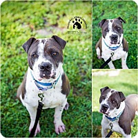 Shar Pei/American Bulldog Mix Dog for adoption in Gloversville, New York - Nathan