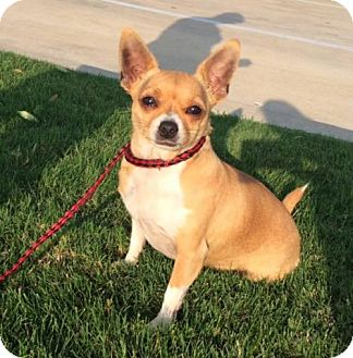 Chihuahua Dog for adoption in Fort Worth, Texas - Chloe--Courtesy Listing