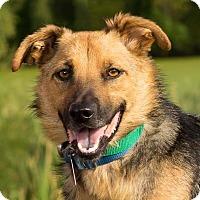 Shepherd (Unknown Type) Mix Dog for adoption in Columbia, Illinois - Bear