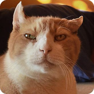 Domestic Shorthair Cat for adoption in New York, New York - Nutso
