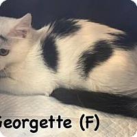 Domestic Mediumhair Kitten for adoption in West Orange, New Jersey - Georgette