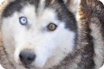 Siberian Husky Mix Dog for adoption in Shingleton, Michigan - Maui - SANCTUARY