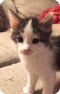 Domestic Shorthair Kitten for adoption in Denver, Colorado - Pesto