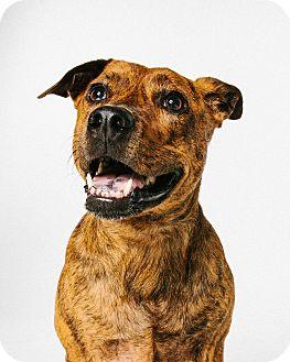 Plott Hound/Shar Pei Mix Dog for adoption in Houston, Texas - Kia