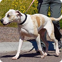 Great Dane/Catahoula Leopard Dog Mix Dog for adoption in Payson, Arizona - Impala