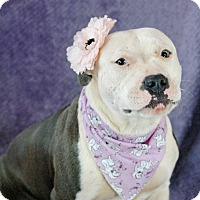 Staffordshire Bull Terrier Mix Dog for adoption in Seabrook, New Hampshire - Bella