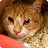 Adopt A Pet :: Buttercup - Bristol, CT