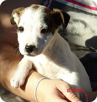 american bulldog australian shepherd mix harper 8 lb video adopted puppy burlington vt 664