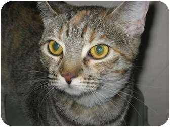 Domestic Shorthair Cat for adoption in Phoenix, Arizona - Honey