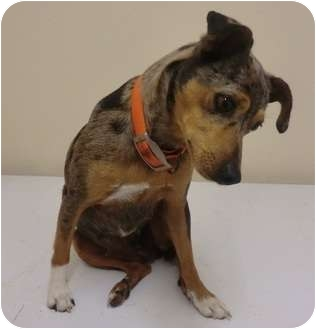 shelter frawg adopted dog haughton la feist mountain cur mix