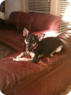 Chihuahua Mix Dog for adoption in Friendswood, Texas - Bella