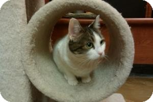 Domestic Shorthair Cat for adoption in Cranford/Rartian, New Jersey - Gracie
