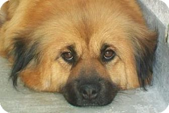 Chow Chow/Shepherd (Unknown Type) Mix Dog for adoption in Gainesville, Florida - Princess