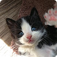 Adopt A Pet :: Blue eyed Tux - Chandler, AZ