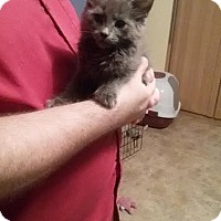 Adopt A Pet :: Kitten #1/Twilight - McDonough, GA