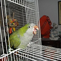Parakeet - Quaker for adoption in Neenah, Wisconsin - Bobber