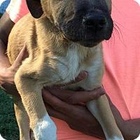 Adopt A Pet :: Ceasar - Dumfries, VA