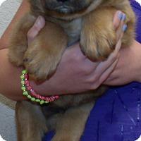 Adopt A Pet :: TEDDY BEAR PUPS E - Corona, CA