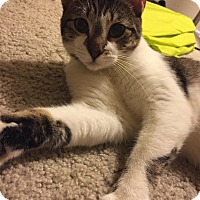Domestic Shorthair Cat for adoption in Addison, Texas - Sally